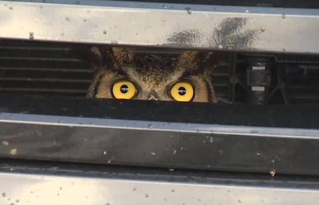 Женщина нашла под капотом своего автомобиля живую сову