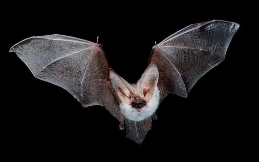 Бионическая летучая мышь покоряет воздух: Видео